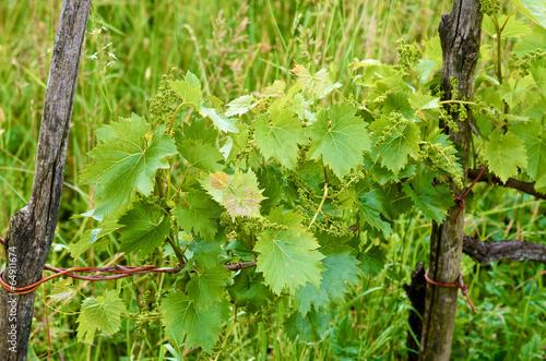 Foto op Plexiglas Wijngaard Young grape clusters in spring