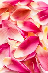 Lotus petal as background, fancy colur