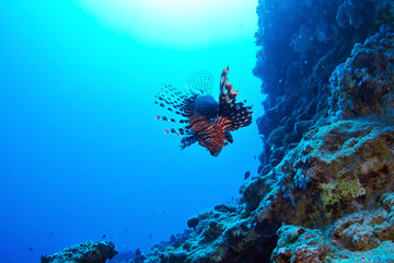 Lionfish (Pterois radiata) on coral reef in the Red Sea, Egypt.