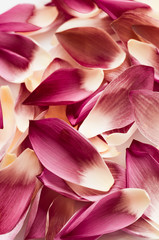Lotus petal as background, fancy colur