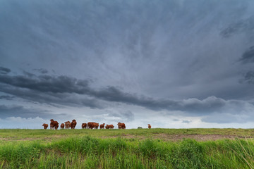 few cows on pasture and stormy sky