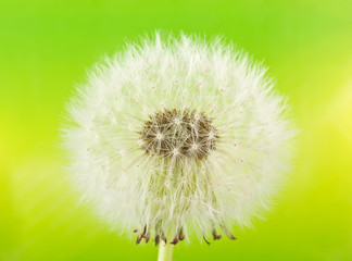 Dandelion (macro) on green background