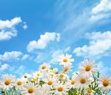Fototapety Daisy flowers