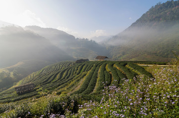 Tea field when sunrise with fog, Doi angkhang, Chiangmai provinc
