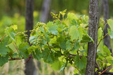 Young grape clusters in spring