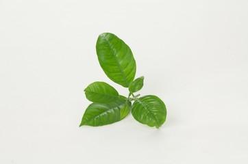 Blätter einer Zitruspflanze