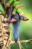 Wild bananas. (Musa acuminata) poster