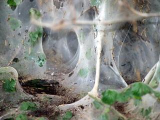 Geisterbaum mit Larven