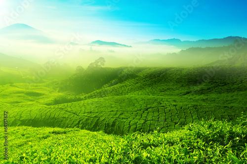 Tea field - 64917672