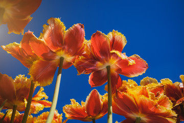 Fresh orange tulips in warm sunlight