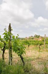 Vigneti a Torgiano - Umbria