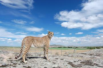 Cheetah Full SIze