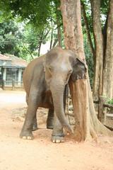 Elefant kratzt sich am Baum
