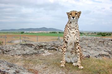 Cheetah Sitting Alone