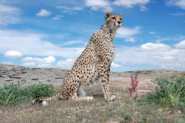 Cheetah Sitting Cute