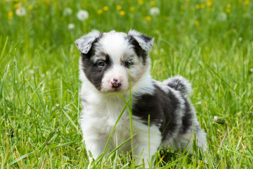 Border Collie Welpe im Gras