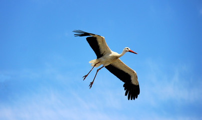 Vol d'une cigogne