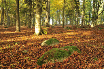 Beech forest in golden foliage