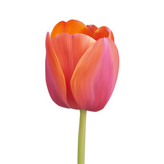 Red tulip. Vector illustration. Isolated on white