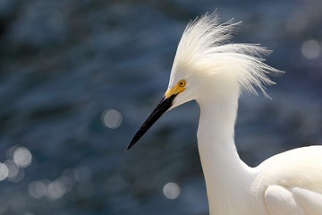 Closeup of a Snowy white egret with open headdress