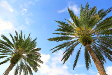 Palm trees viewed from below on a blue sky