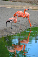 A group of Caribbean Flamingos Latin name phoenicopterus ruber