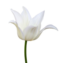 White tulips. Vector illustration. Isolated on white