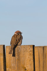 cute sparrow on wooden fence