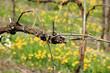 vigneti vitigni in stagione primaverile con fioritura