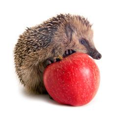 Junger Igel mit Apfel