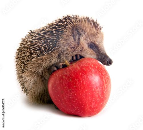canvas print picture Junger Igel mit Apfel
