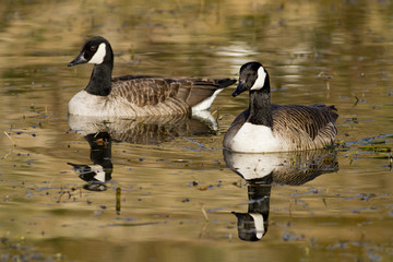 Two Canada Geese on pond
