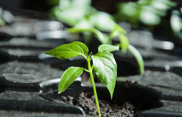 Macro of pepper seedlings ready for plant