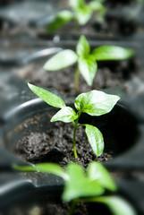Macro of pepper seedlings ready for plant