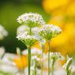 Zierlauch, Allium, Grußkarte, Sommerblumen im Garten