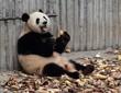 Panda eating bamboo shoots happily