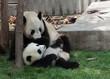 Panda cub lying on the grass watching mom or dad