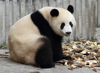 Panda tongue looking at viewer