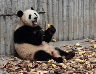 Panda eating bamboo shoots happily