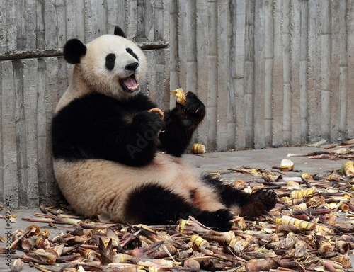 Poster Panda Panda eating bamboo shoots happily
