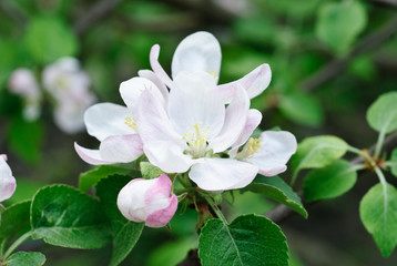 White and pink spring blossoming apple
