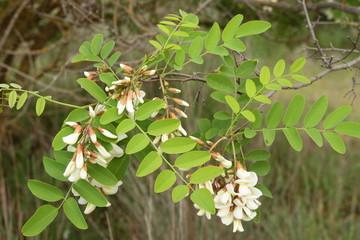 Rama con flores de Robinia. Robinia pseudoacacia.