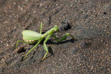 detail of praying mantis on volcanic sand