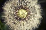 Dandelion flower - 64934608