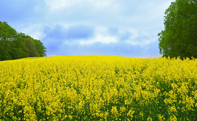 rape field with trees