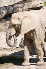 One African bush elephant (Loxodonta africana)