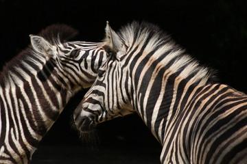 Chapman-Zebras