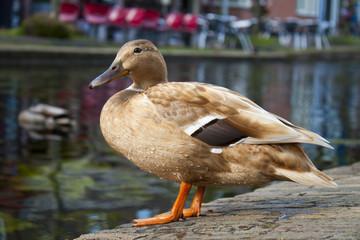 light brown duck sitting on bricks near canal