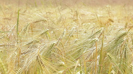 Close up on a filed of wheat moving in the wind