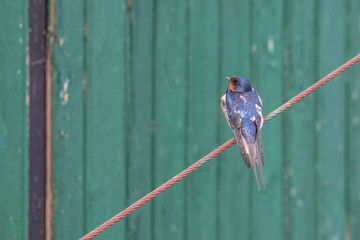 swallow disheveled